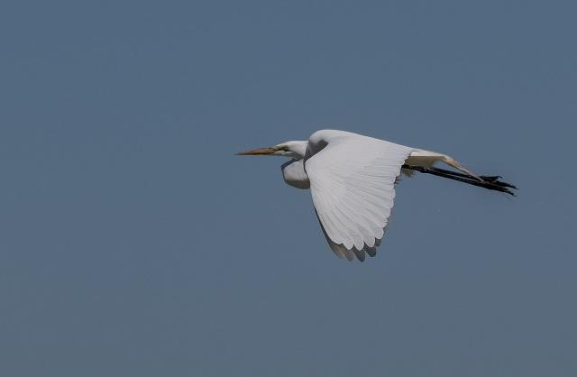 Great Egret BLOG, BIRDS