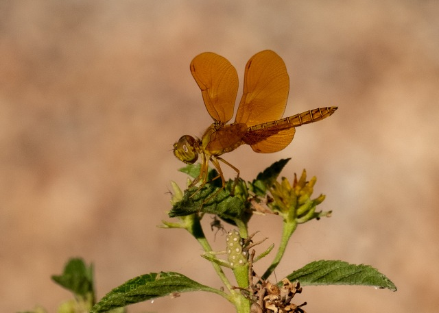Mexican Amberwing MAIN, INSECTS, BLOG, PHOTO OF DAY