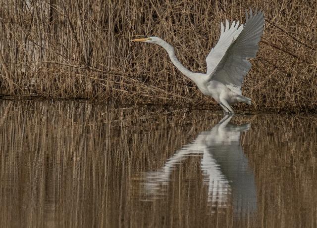 Great Egret BLOG, MAIN, SWBIRDS