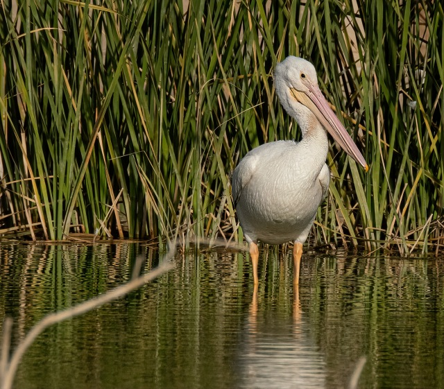 Pelican 4 MAIN, BLOG