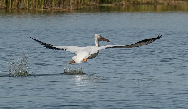 Pelican 5 SWBIRDS, BLOG, WVC