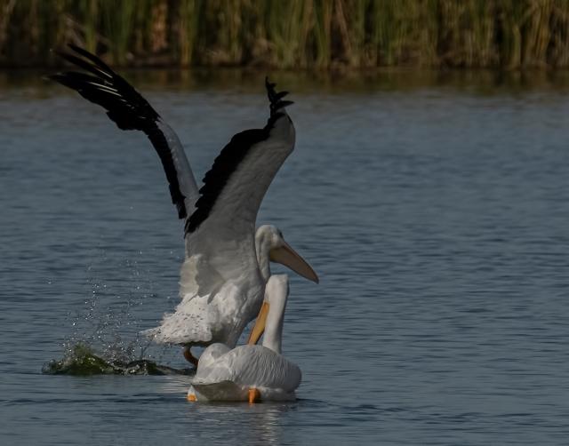 Pelicans 6 BLOG, MAIN