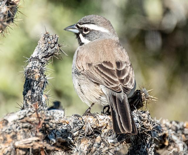 Black-throated Sparrow SWBIRDS, BLOG, MAIN