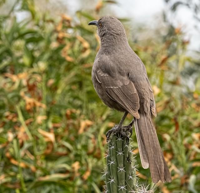 Thrasher BLOG, SWBIRDS, WVC