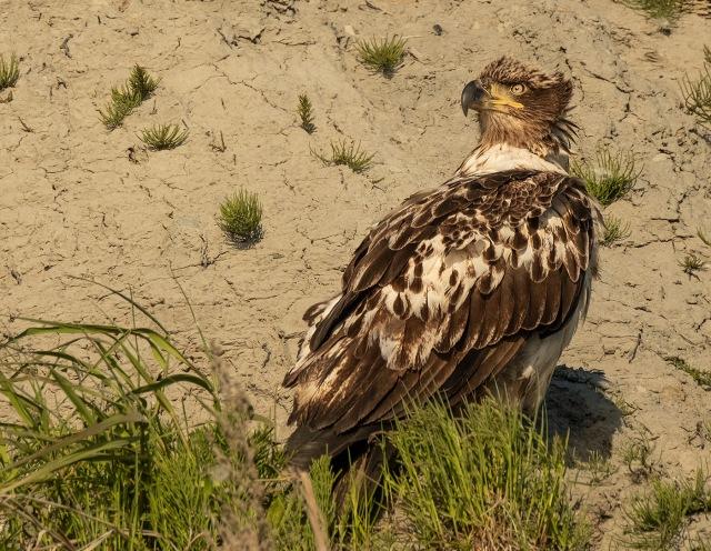 Young Eagle MAIN, BLOG